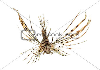 Font view of a red lionfish isolated on white