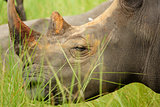 Side view of white rhino in Uganda