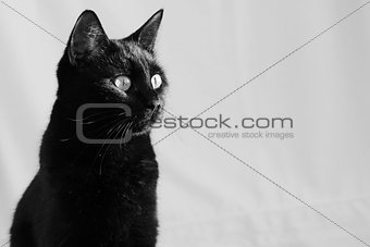 beautiful young black cat in home interior