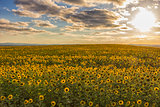field of blooming sunflowers on a background of sun and blue sky
