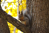 squirrel in autumn sitting on the branch of a tree and eating