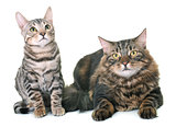 maine coon cat and bengal kitten