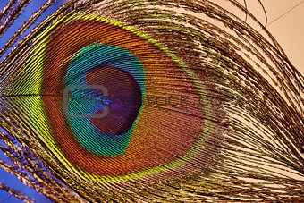 Beautiful colorful peacock feather, close up shot