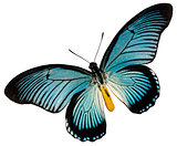 Blue black butterfly