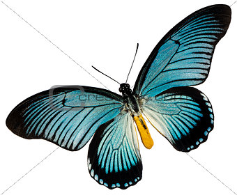 Blue black butterfly