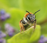 Small bee on green garden leaf