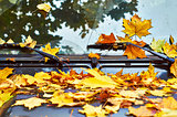 Fallen maple leaves on car hood