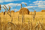 Ears of wheat and hay bales