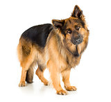 German shepherd dog long-haired standing in studio isolated