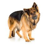 German shepherd dog long-haired standing in studio isolated
