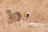 coalition of cheetah