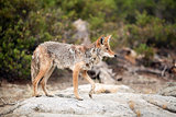 Coyote standing on a large granite boulder