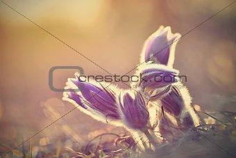 Beautiful purple little furry pasque flower. (Pulsatilla grandis) Pulsatilla patens. Pasqueflowers. Blooming on spring meadow.