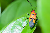Red Cotton Bug (Dysdercus cingulatus)