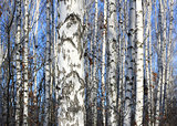Birch trees in bright sunshine