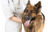 Shepherd dog examination by veterinary doctor isolated