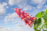 Flower of red horse-chestnut against the sky with clouds