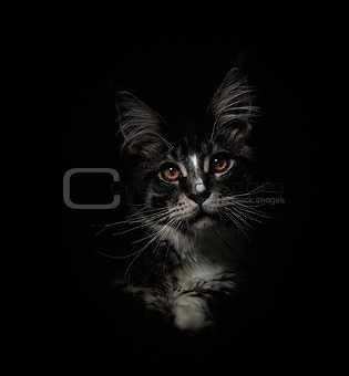 Kitten of Maine coon