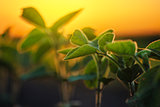 Soybean plants in sunset