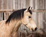 Horse Portrait at His Barn