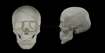 3d render of the Human Skull