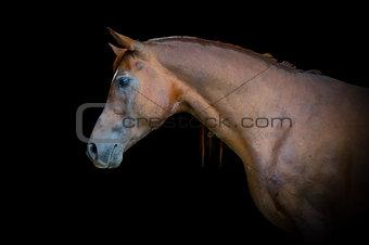 Arabian bay horse portrait on black background