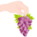 Grozdi grape in hand