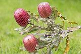 Menzies Banksia - Banksia menziesii