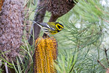 Townsend's Warbler (Setophaga townsendi) perched on Hairpin Banskia (Banksia spinulosa).
