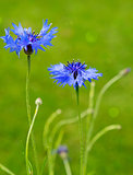 Double blue cornflower isolated .