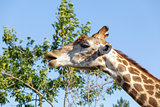 Giraffe on the tree and sky background