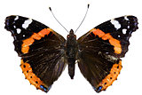 Red Admiral on white Background  -  Vanessa atalanta (Linnaeus, 1758)
