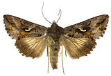 The Silver Y on white Background  -  Autographa gamma  (Linnaeus, 1758)