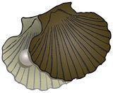 Pearl Mussel shells
