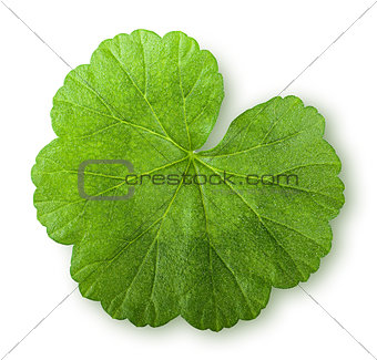 Green juicy leaf geranium top view