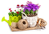 Garden flowers crocus in wicker basket