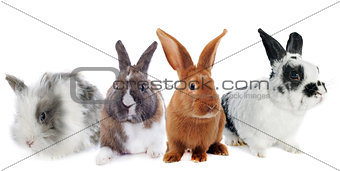 group of rabbit