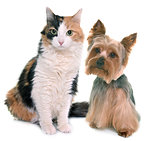 tricolor cat and yorkshire terrier
