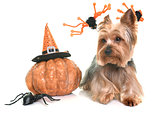 yorkshire terrier and halloween