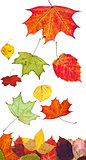 multicolored fallen autumn leaves isolated