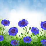 Cornflowers With Bokeh