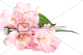 small bouquet of alstroemeria on a white background