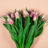 Pink tulips on pink background