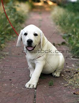 a little cute labrador puppy in the garden
