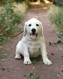 the little cute labrador puppy n the garden