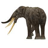 Stegotetrabelodon Elephant Tail