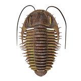 Trilobite ptychoparia