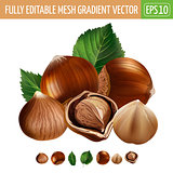 Hazelnuts on white background. Vector illustration