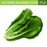 Lettuce on white background. Vector illustration