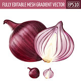 Red onion on white background. Vector illustration